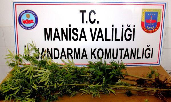 Manisa'da devriye gezen ekipler Hint keneviri buldu