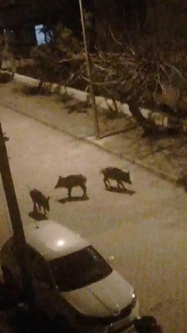 Yaban domuz sürüsünü doyurdu, görüntüleri sosyal medyada paylaştı -4